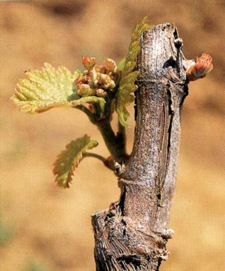 foto-viñedo-1